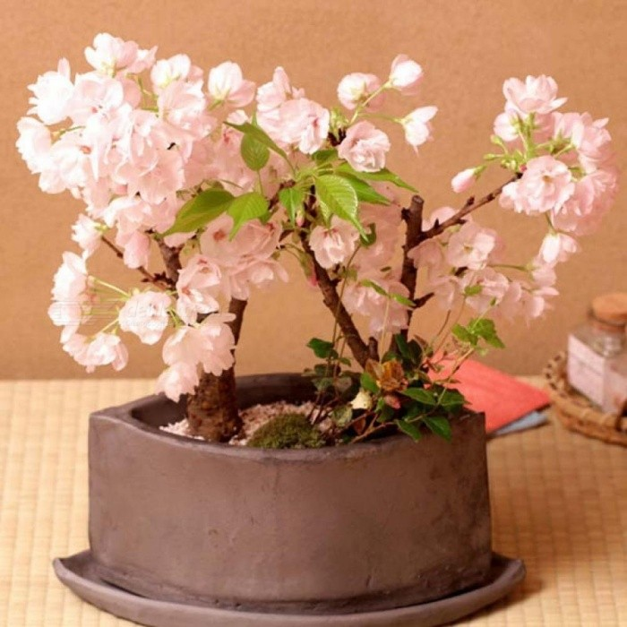 Bonsai Japanese Sakura Bonsai Flower Cherry Blossoms Cherry Tree Ornamental Plant 10 Seeds/pack Home Garden Bonsai